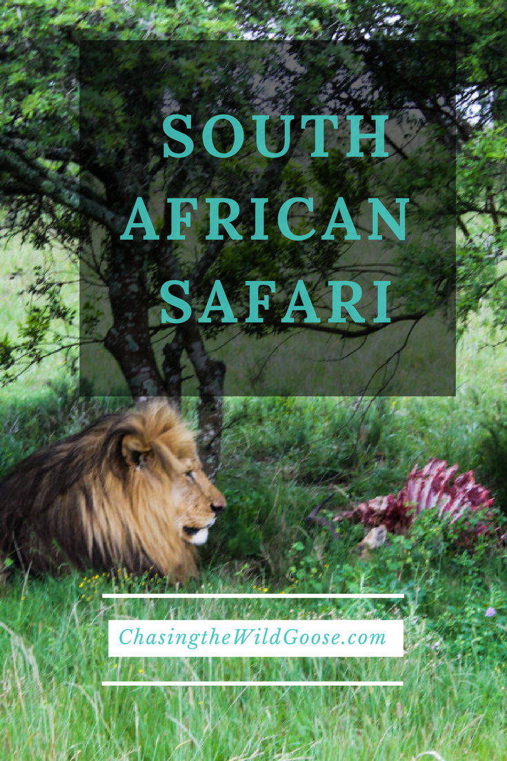 A Safari in South Africa is an experience you cannot afford to miss out on. Read on to find out what Steve the Lion had for Breakfast.